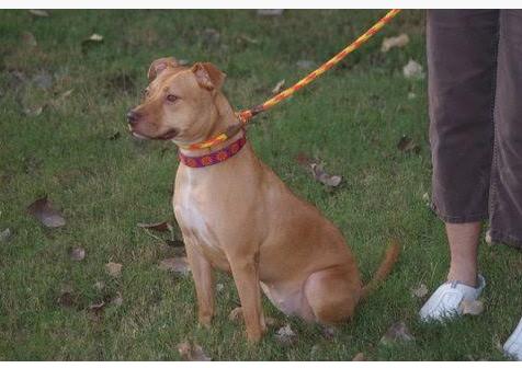 Adoptable Dog Amber 1