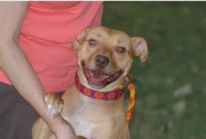 Adoptable Dog Amber 2