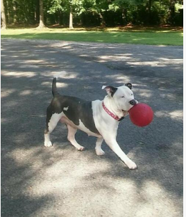 Adopt or foster Azalea, sweet dog with ball