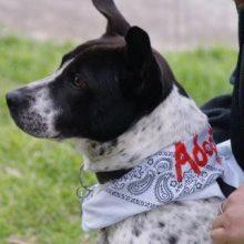 Black and white hound Chee