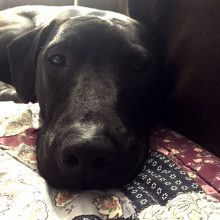 Lovely black dog nose: Dog available for adoption in TN, NH, MA, CT, NY, PA