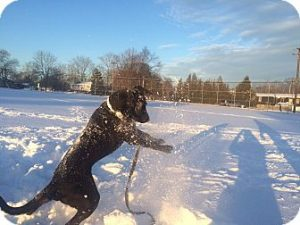 Adoptable Black Labrador Retriever playing in the snow.