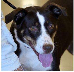 Adopt Shasta Dog